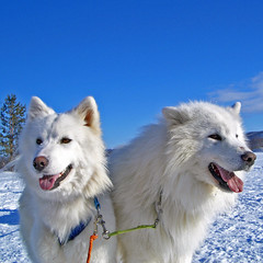 Sled dogs (jay_kilifi) Tags: snow dogs norway husky sled bluex