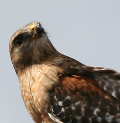Red Shouldered Hawk (Betsy Edmondson) Tags: nature birds birdlovers bestnaturetnc06