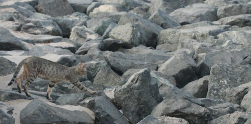 cat-on-rocks-2 by octal