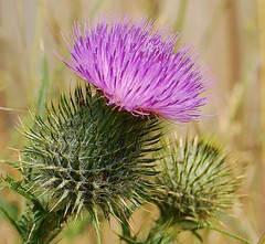 Spike! (freebird4) Tags: uk d50 nikon shropshire spike daisyfamily cirsiumvulgare spearthistle anyflower abigfave