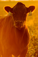 1200 (cpultz) Tags: sunrise corn cornfield nebraska cattle breath 2006 silouette stubble lowell
