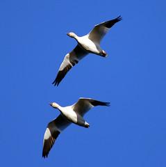 Snow Geese (cc49) Tags: birds snowgeese reifelisland cc49
