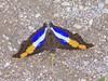 silver emperor male dorsal 061015 1004666 san luis potosi mx