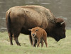 ...Happy Furry Friday... (Random Images from The Heartland) Tags: chris nature animals buffalo bailey yellowstonenationalpark prairie furryfriday plains bison chrisbailey willdlife chrisbaileyimages
