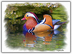 Watercolor Mandarin Duck (Drake) (Michael Pancier Photography) Tags: nature birds photoshop watercolor florida miami digitalart ducks mandarinduck finea