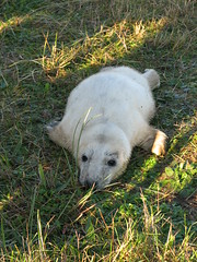 Seal pup (fuzzypurple) Tags: seals donnanook