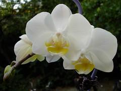 Phalaenopsis - by Gertrud K.