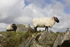 Sheep in the Connemara, Ireland (mkiiatl) Tags: ireland sheep connemara blackfaced