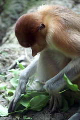 Proboscis Monkey at Singapore Zoo (dbillian) Tags: money nature animal animals zoo singapore wildlife monkeys damon zoos proboscis damonbillian billian