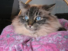 Sofie (dacardoso) Tags: pink cat hair fur basket blueeyes blanket sofie birman