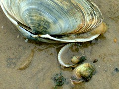 STRANDGUT (::lisdoonvaarna) Tags: beach strand big shell fave nord muschel a nordee abigfave