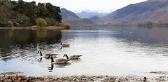 In search of food (Paul Thackray) Tags: lakedistrictnationalpark englishlakedistrict derwentwater scrandshagbay lordsisland borrowdale geese 2016