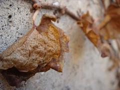 trembling on a vine (Opal in the rough) Tags: brown dead leaf vine crispy