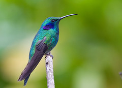 Green Violet-ear (graspnext) Tags: green bird costarica greenvioletear colibrithalassinus violetear avianexcellence superhearts