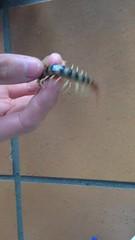 Scolopendra morsitans super docile (Jackson Nugent) Tags: centipede scolopendrid scolopendra arthropod bug morsitans australia venomous myriapod myriapods pet animal invertebrate