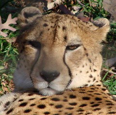 Cheetah looking very smug (Denube) Tags: cats zoo explore cheetah 123faves animalkingdomelite anawesomeshot
