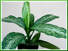 A young Dieffenbachia bowmannii Carriere plant in our garden, July 2006