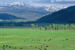 Lamar Valley Evening: Yellowstone NP, Wyoming (WY) (Floyd Muad'Dib) Tags: trees usa mountain mountains tree animal animals america geotagged mammal us nationalpark buffalo unitedstates united north valley cottonwood yellowstonenationalpark northamerica lamar yellowstone states wyoming northern bison mammals ungulate americanwest wy cottonwoods ungulates yellowstonenp lamarvalley westernusa buffaloherd northernwyoming northernwy