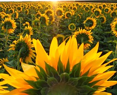 Army of Sunshine (*Jeff*) Tags: sun field sunflower northdakota grandforks