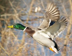 Food for flight (JAMES HALLROBINSON) Tags: inflight kentucky ducks olympus mallards wildfowl e500 mcneelylake fowlfeatheredfriends