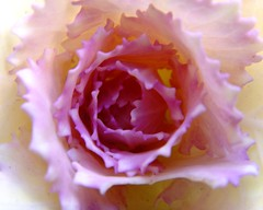 pink cabbage flower (michaelab311) Tags: vienna wien pink macro fantastic rosa cabbage 200views kohl iloveit randombeauty views200 pinkcabbage