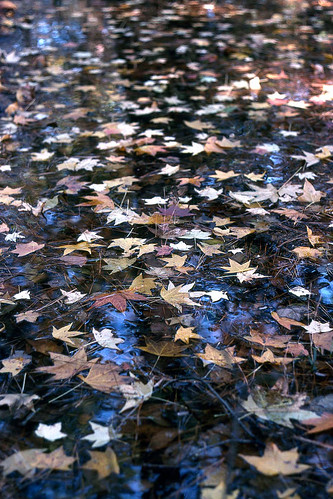 Sweet Gum Leaves on Pond in Columbia