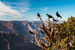 Grand Canyon Ravens (Ginger Snaps Photography) Tags: raven grand canyon grandcanyon usa canon sigma rockface tree animal bird scenic landscape