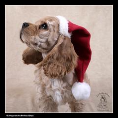 Joyeux Nol! (Barzi) Tags: dog chien puppy puppies spaniel cocker chiot