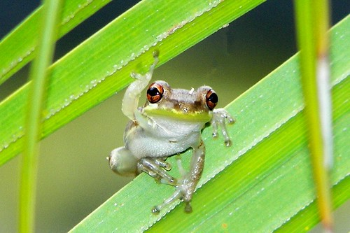 tree frog pictures. Tree Frog