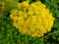 Flor de verol (Marianne Perdomo) Tags: flowers yellow geotagged succulent flora canarias canaryislands canaria suculenta aeonium verode geo:tool=gmif verol macaronesianflora geo:lat=28037599 geo:lon=15479760 safe200