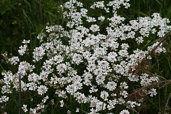 534447286 Candytuft 2007-06-06_19:33:22 Aston_Rowant