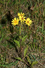 1276832766 Ragwort 2007-08-29_18:55:51 Greenham_Common