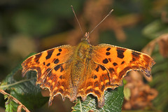 """Comma Butterfly (Polygonia c-album)(6) • <a style=""""font-size:0.8em;"""" href=""""http://www.flickr.com/photos/57024565@N00/251211076/"""" target=""""_blank"""">View on Flickr</a>"""