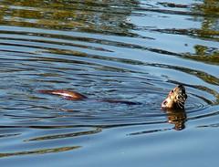 Snacking On Snails (shesnuckinfuts) Tags: food swimming pond coolest otters animalplanet backyardpond kentwa animaladdiction eatingsnails otterfamily shesnuckinfuts