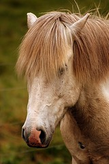 Close Up - Icelandic Horse - Iceland ({ Planet Adventure }) Tags: travel favorite 20d canon island eos iceland islandia holidays flickr perspective creative diversity ab adventure lindo backpacking winner planet iwasthere top20horsepix bliss tagging canoneos allrightsreserved nicecolors havingfun aroundtheworld inhospitable onflickr visittheworld travelphotos icelandichorse 200mostinteresting greatcolors placesilove traveltheworld beautifulplace travelphotographs canonphotography thecontinuum beautifulshot beautifulcomposition alwaysbecapturing worldtraveller planetadventure lovephotography greatcomposition beautyissimple greatplace theworlthroughmyeyes challengeyouwinner flickriscool loveyourphotos theworldthroughmylenses greatcaptures shotingtheworld by{planetadventure} byalessandrobehling icanon icancanon canonrocks selftaughtphotographer phographyisart travellingisfun 20060830 xploremypix inhospitableplace copyright20002006alessandroabehling exploremypix interestingplace visitthisplace athumbsup flickrsmille allinteresting alliceland justiceland greaticeland visiticeland