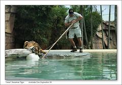 b-8975-azoo-26-09-06-20M (Barbara J H) Tags: tiger australia sumatrantiger australiazoo