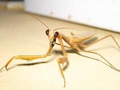 Mantis religiosa trademark
