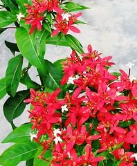 Beautiful Blooms of Carphalea kirondron, shot Sept 2006