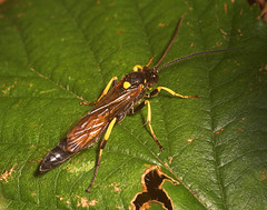 """Ichneumon Wasp (Ichneumon stramentarius) • <a style=""""font-size:0.8em;"""" href=""""http://www.flickr.com/photos/57024565@N00/262134537/"""" target=""""_blank"""">View on Flickr</a>"""
