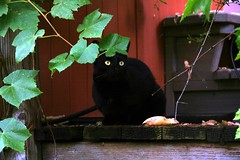 Almost dark (Hotash) Tags: rescue house black halloween cat altered jester picasa kitty hottub porch around grape grapevine