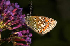 """Common Blue Butterfly (Polyommatus ic(1) • <a style=""""font-size:0.8em;"""" href=""""http://www.flickr.com/photos/57024565@N00/263072954/"""" target=""""_blank"""">View on Flickr</a>"""