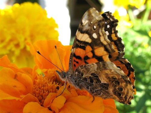 West Coast Lady Butterfly on Marigold