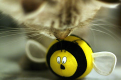Latte and the Bumble Bee (~Kenny) Tags: cats cat canon 350d malaysia neko kl 50mmf14 lattecat ~kenny interestingness438