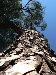 Crackled bark (manarh) Tags: trees italy florence moo1 baseshot