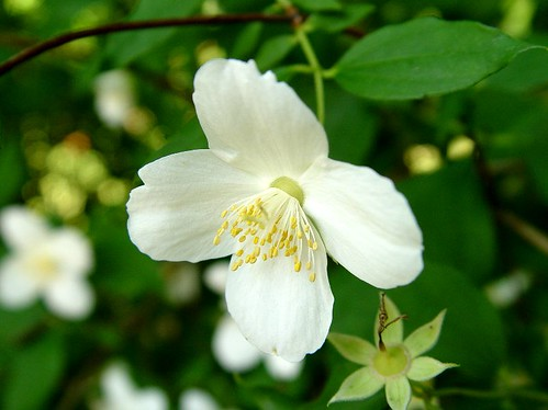 "Sweet Mock Orange, English Dogwood ""Philadelphus coronarius"""