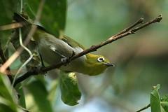 white eye (iamtonyang) Tags: china white mountain bird eye guilin shan brocade guangxi diecai
