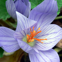 Autumn Crocus (wendymerle) Tags: purple excellence iridaceae autumncrocus fallcrocus  crocusspeciosus