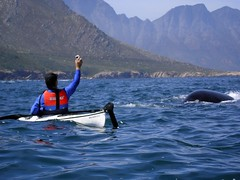 A Southern Right whale surfaces close to Deon off Steenbras mouth