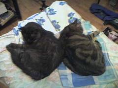 twins (valefranz) Tags: pet cats pets animal animals cat twins felino felini felines gatto gatti animali animale micio felin mici animalidacompagnia animalidomestici siamesi gattisiamesi