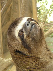 Three Toed Sloth (pierre pouliquin) Tags: baby peru animal rio amazon sloth bebe iquitos superstition loreto ai animalia mammalia amazonas nanay amazona amazonia perou threetoed supersticin aberglaube paresseux chordata superstizione superstio toed serpentario mammifres perezoso pilosa edentata arboricole bradypus three xenarthra bradypustridactylus tridactylus sloth megalonychidae choloepidae bradypus tridactylus arboricoles edente     arboricol paresseux3griffes perezosode3dedos maynas provinciademaynas departamentodeloreto